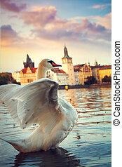 Swans on the river Vltava in Prague