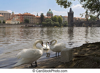 View of Charles Bridge over River Vltava with swans in foreground, and Church of St. Francis of Assisi in distance, Prague Czech Repiblic