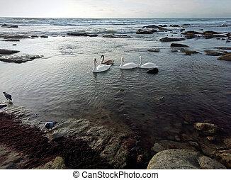 Swans on the seashore.