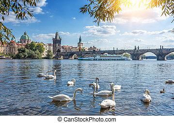 Swans on the Vltava River in the city of Prague, Czech Republic.