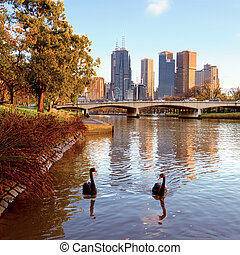 swans on the yarra river