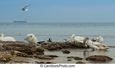 Swans preening on the coast