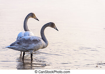 Swans stand in the water