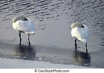 Swans standing in water