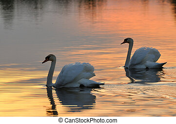 Swans - Two swans on a lake at sunset