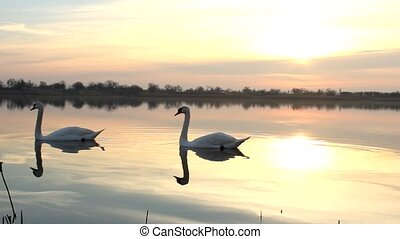 swans - sunrise lake with a swan