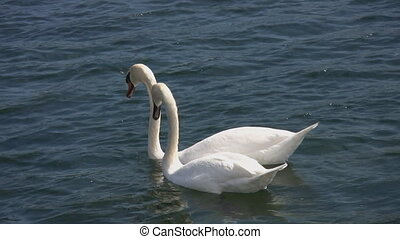 Swans. - Swan couple does everything together.