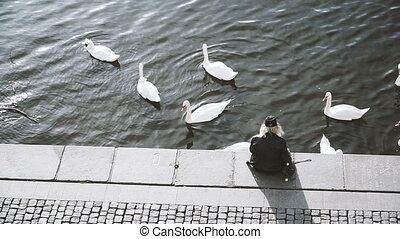 Swans. Swans swim on the embankment of Prague