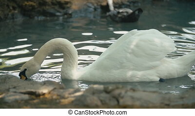 swans swim in a groove close-up