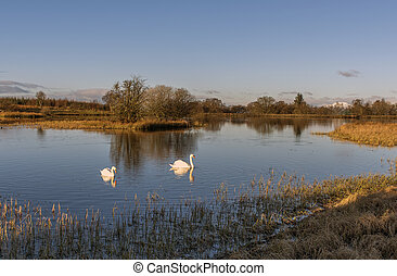 Swans swimming in a Loch