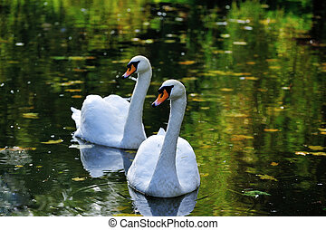 swans swimming on the water
