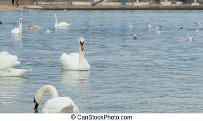 Swans swimming on water
