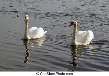 Swans Swimming together