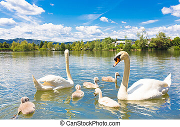 Swans with nestlings in Ljubljana. - Swan family swimming in...