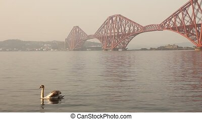 Swans with the Forth bridge behind, near Edinburgh,...