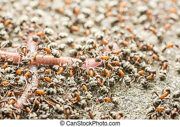 Swarm Of Ants Eating Earthworm Macro Close Up