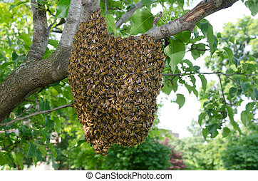 Swarm of bees in a tree - A swarm of European honey bees...