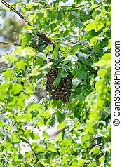 Swarm of bees in a tree