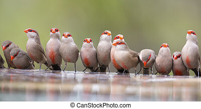Swarm of small and beautiful Common Waxbill drinking water at pond