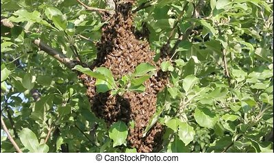 Swarming bees. Formation of a new hive - Bees that can fly...