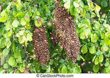 Swarming bees on a tree
