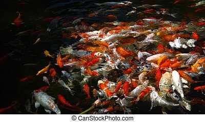 Swarming Shoal of Japanese Koi in a Decorative Pond