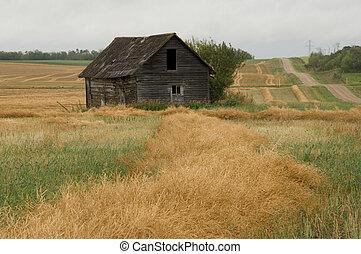 Swath Field - abandon house in a swath canola field
