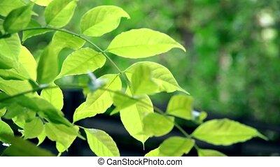 Swaying backlit green tree leaves. 4K telephoto lens...