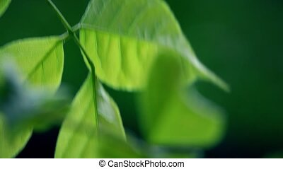 Swaying backlit green tree leaves. 4K telephoto lens...