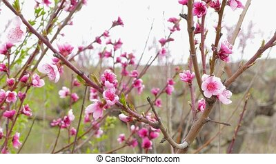 Swaying branches of flowering peach tree. - Swaying branches...