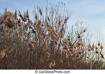 Swaying field of Feather Reed Grass on American midwest prairie in autumn