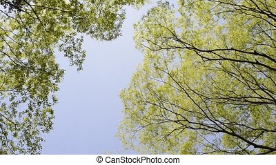 Swaying forest - Fresh green forest of swaying in the wind