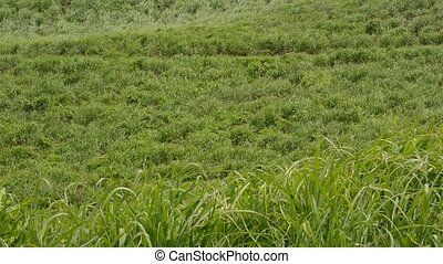 Swaying grass field - Green grass field swaying in the wind