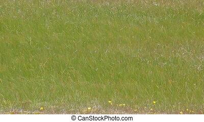 Swaying grasses. Tundra of Novaya Zemlya archipelago. Arctic...