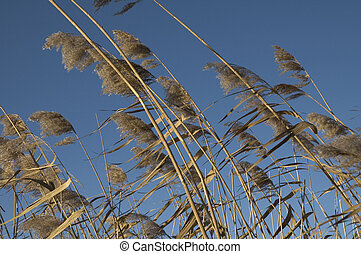 Swaying in the wind2 - reeds swaying in the wind