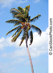 Swaying Palm Tree - photographed palm tree at Key West ...