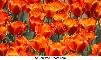 swaying red, orange tulips