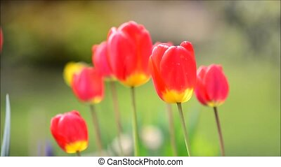 Swaying Red Tulips