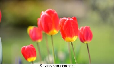 Swaying Red Tulips - Beautiful Red Tulips Swaying in the...