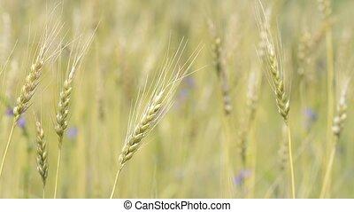 Swaying wheat plant