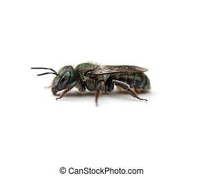 Sweat Bee (Halictidae) on a white background