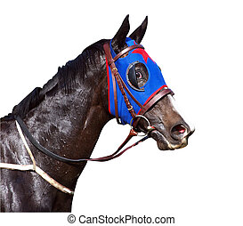 Sweaty Racehorse with Flared Nostrils isolated wth clipping path