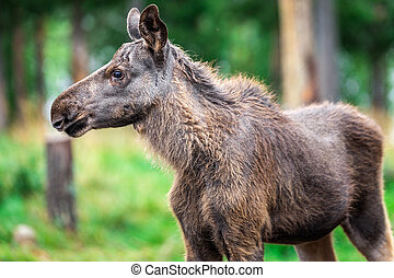 Sweden autumn nature - Baby Wild Moose Grazing near Kiruna,...