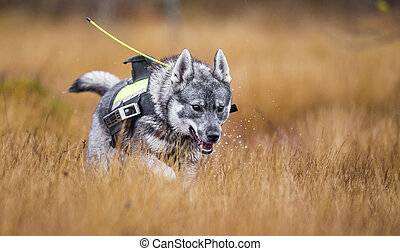 Swedish Moosehound - hunting season