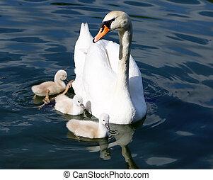 sweeming, cygne, eau, mère, blanc, cygnets