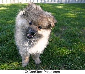 Sweet Adorable Pomeranian Puppy
