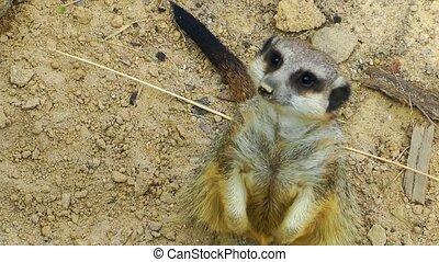 Sweet Animal Meerkat