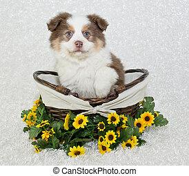 Sweet Aussie Puppy - Cut little Australian shepherd puppy...