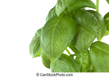 Sweet basil (lat. Ocimum basilicum) leaves isolated on white (Selective Focus, Focus on parts of the big leaf in the middle)