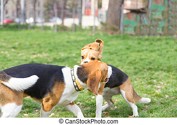 sweet beagle dogs playing in park